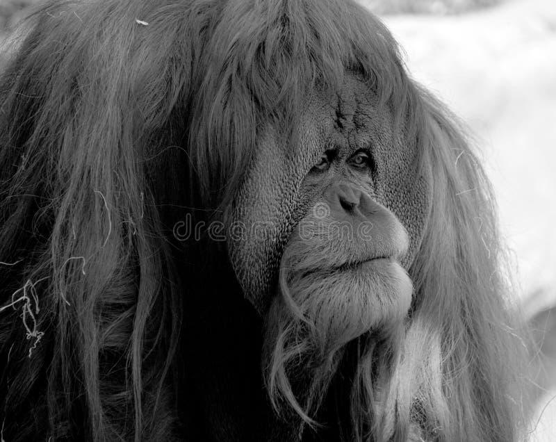 Gli orangutan fotografia stock libera da diritti