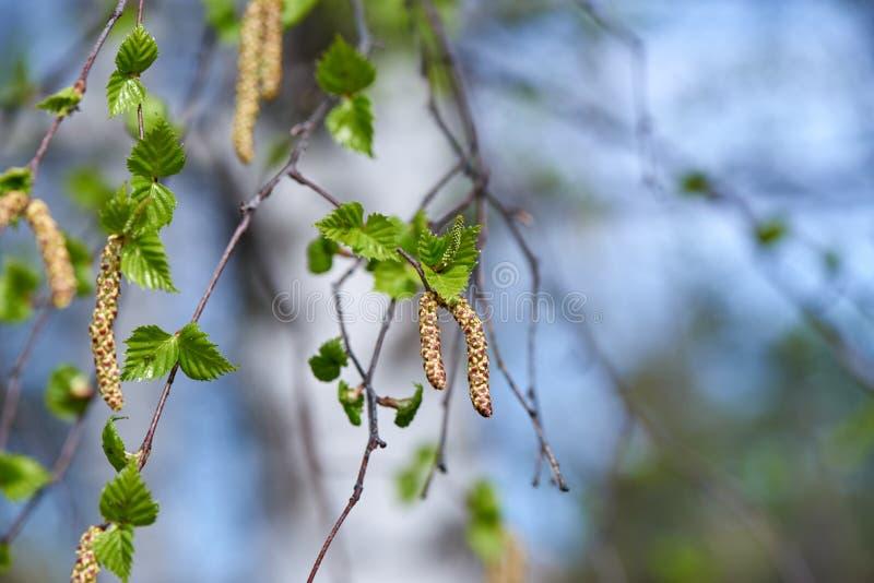 Gli orecchini della betulla sono sbocciato in primavera immagini stock