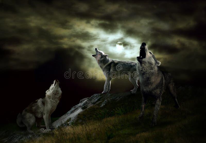 Gli ospiti della notte sono lupi fotografie stock libere da diritti