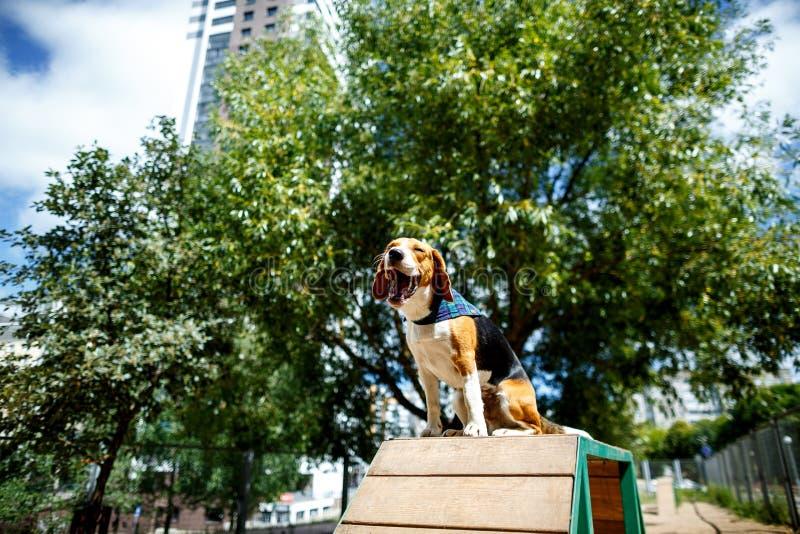 Gli sbadigli del cane del cane da lepre fotografia stock
