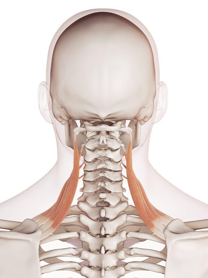 Gli scapularis di levator illustrazione vettoriale