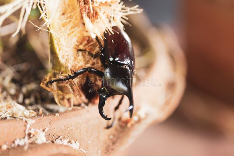 Gli scarabei stanno mangiando la canna da zucchero immagine stock
