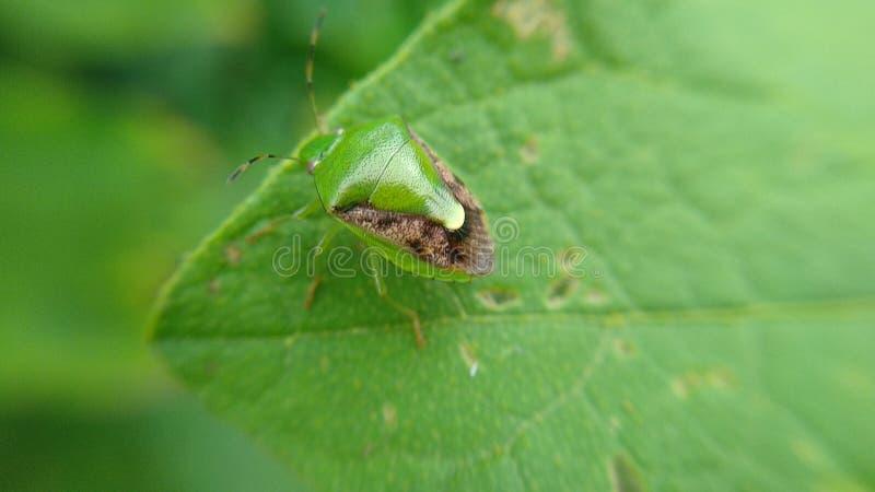 Gli scarabei verdi stanno mangiando le foglie fotografia stock