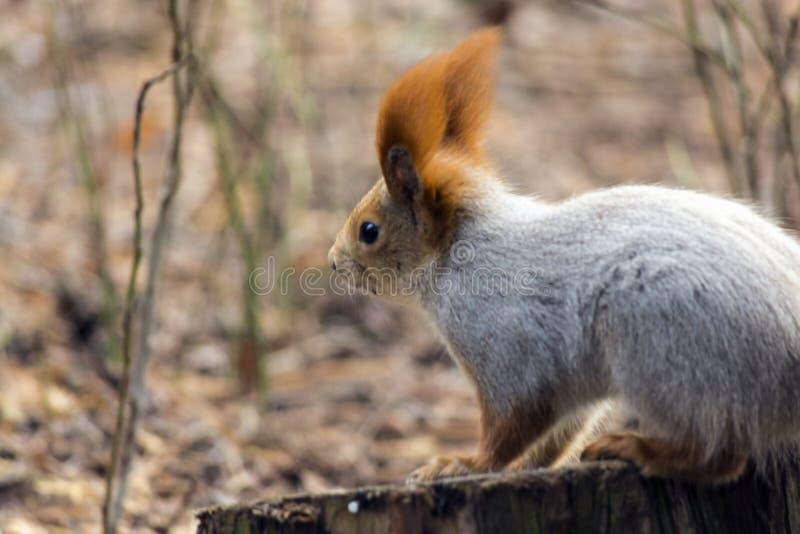 Gli scoiattoli che saltano e che giocano rumorosamente negli alberi e nella terra fotografia stock