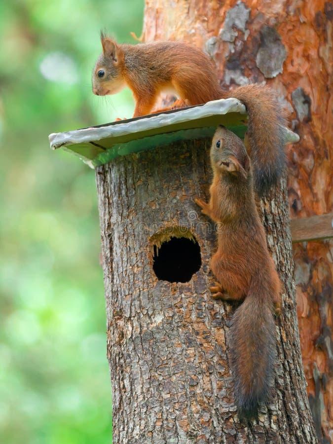 Gli scoiattoli lanuginosi giocano su una casa sull'albero in una foresta dell'estate fotografia stock libera da diritti