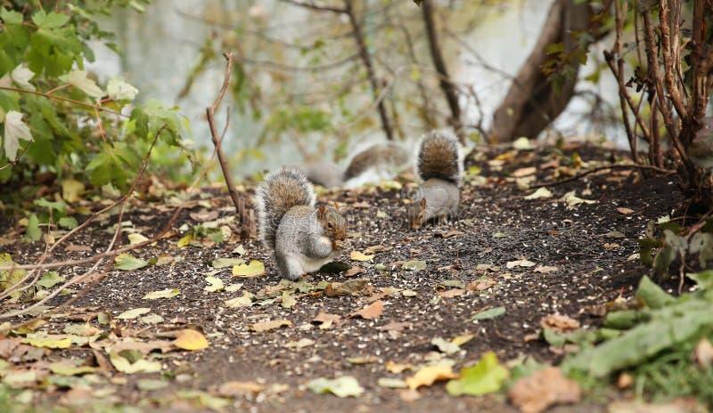 Gli scoiattoli mangiano i semi di girasole nella foresta di autunno immagini stock libere da diritti