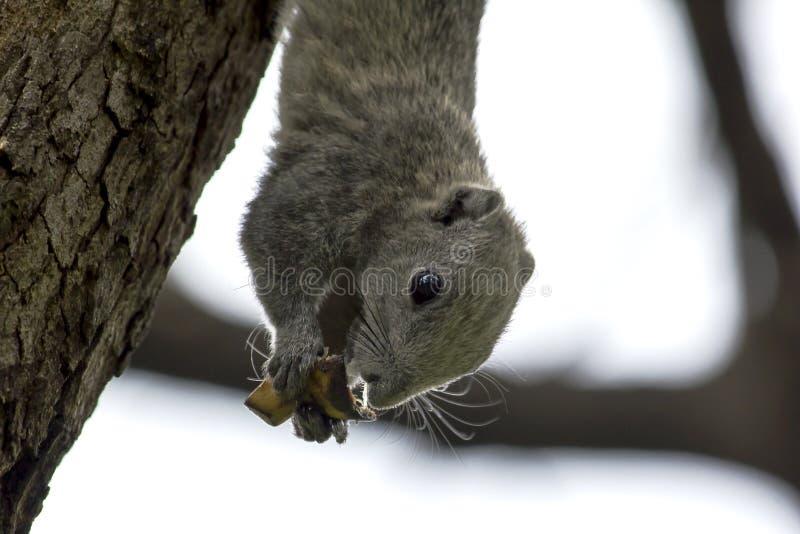 Gli scoiattoli mangiano le banane sugli alti alberi in natura immagine stock