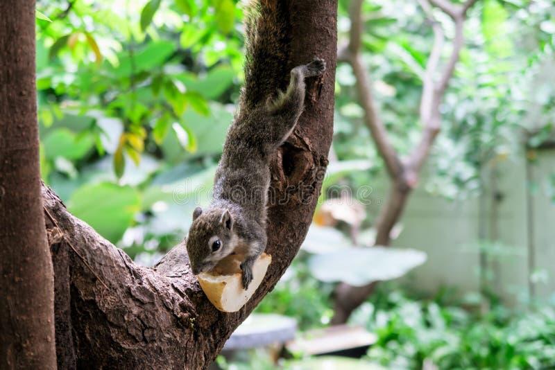 Gli scoiattoli mangiano una frutta fotografia stock libera da diritti