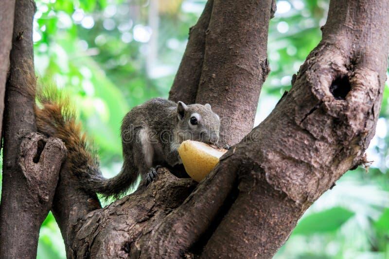 Gli scoiattoli mangiano una frutta immagine stock