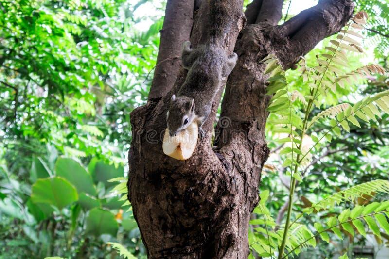 Gli scoiattoli mangiano una frutta fotografia stock