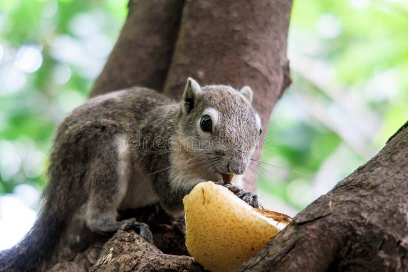 Gli scoiattoli mangiano una frutta immagini stock