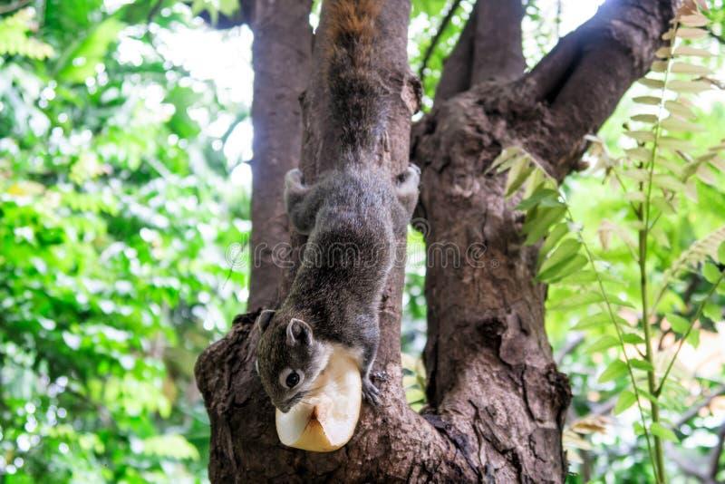Gli scoiattoli mangiano una frutta immagine stock libera da diritti