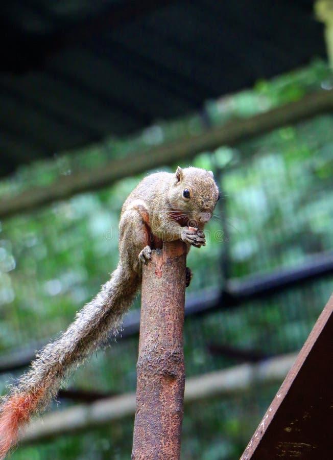Gli scoiattoli sono membri delle sciuridae della famiglia fotografia stock