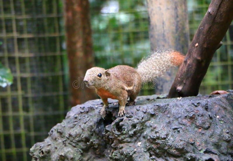 Gli scoiattoli sono membri delle sciuridae della famiglia immagine stock libera da diritti