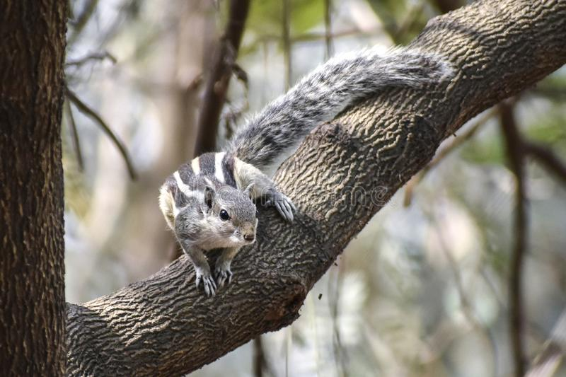 Gli scoiattoli sono membri delle sciuridae della famiglia, una famiglia che include i piccoli o roditori di taglia media La famig immagini stock libere da diritti