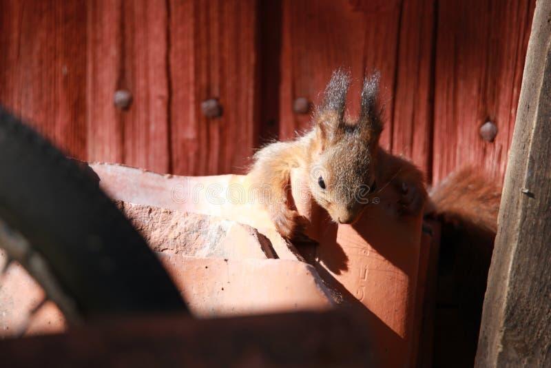 Gli scoiattoli sta dormendo vicino al drey immagine stock