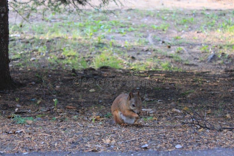Gli scoiattoli stanno mangiando l'alimento delizioso fotografie stock