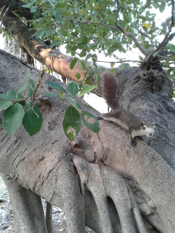 Gli scoiattoli stanno scalando gli alberi fotografia stock