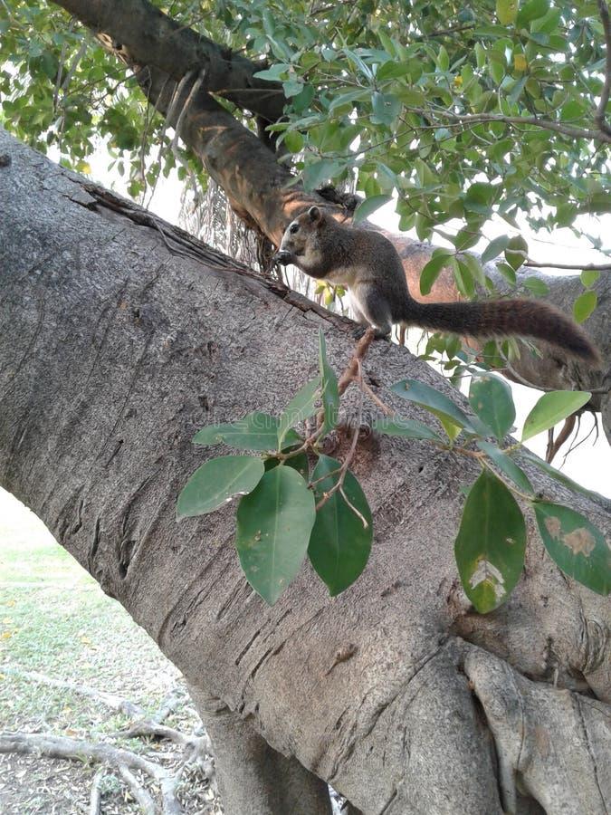Gli scoiattoli stanno scalando gli alberi fotografia stock libera da diritti