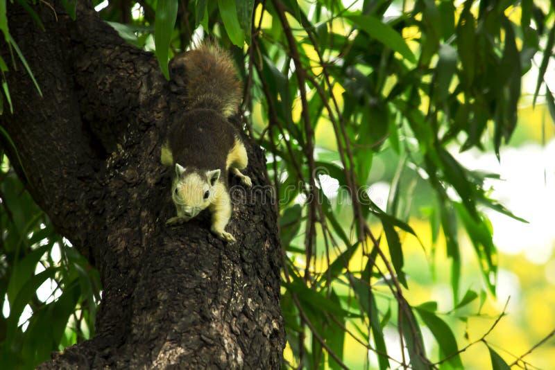Gli scoiattoli stanno scalando sugli alti alberi immagine stock libera da diritti