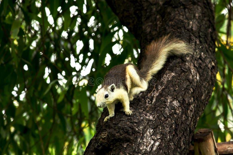 Gli scoiattoli stanno scalando sugli alti alberi immagini stock