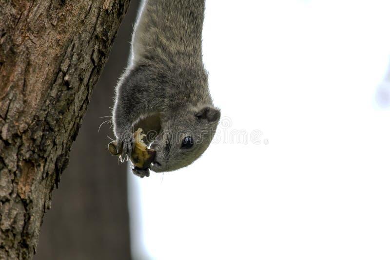 Gli scoiattoli stanno scalando sugli alti alberi fotografia stock libera da diritti