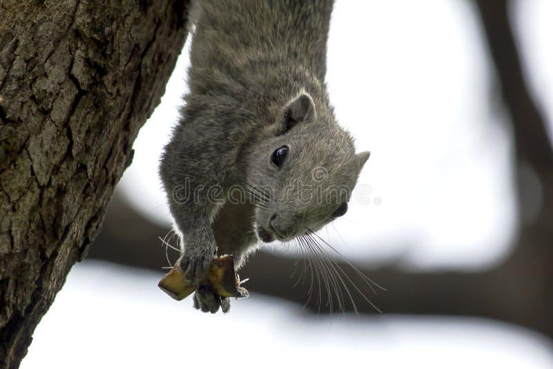 Gli scoiattoli stanno scalando sugli alti alberi immagine stock