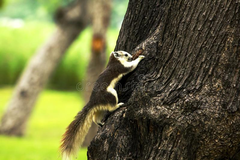 Gli scoiattoli stanno scalando sugli alti alberi fotografia stock