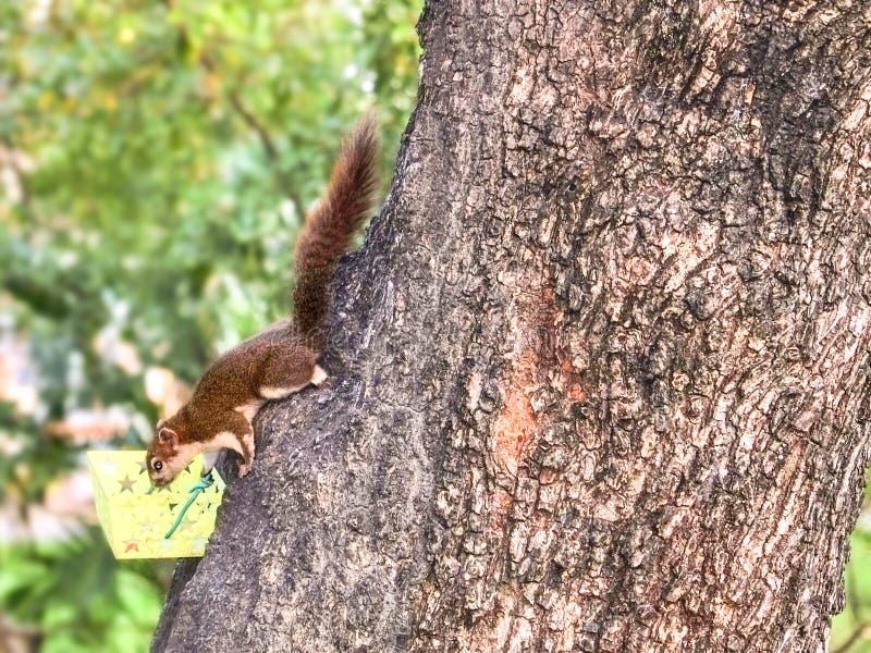 Gli scoiattoli stanno scendendo mangiare i fagioli immagini stock libere da diritti