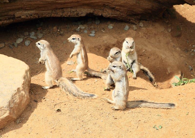 Gli scoiattoli a terra del capo immagini stock
