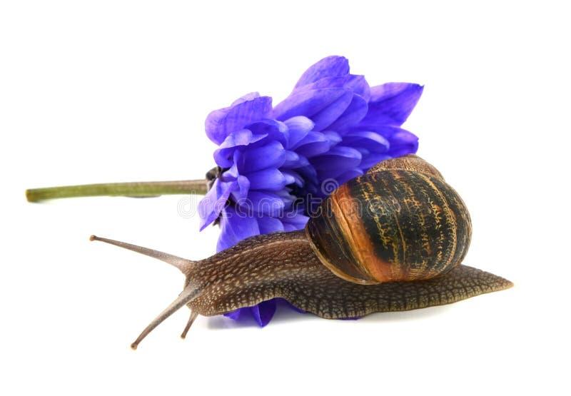 Gli scorrevoli della lumaca di giardino sopra i petali di un crisantemo blu scorrono immagini stock libere da diritti