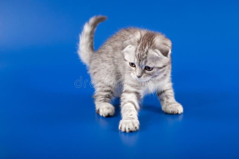 Gli scottish del gattino piegano la razza fotografia stock libera da diritti