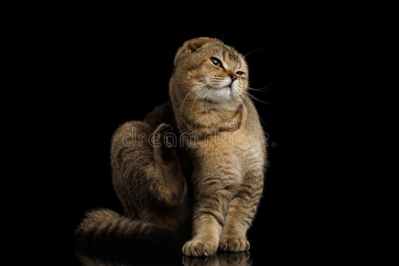 Gli Scottish piegano Cat Sitting, graffiante dietro il suo orecchio, il nero immagini stock libere da diritti