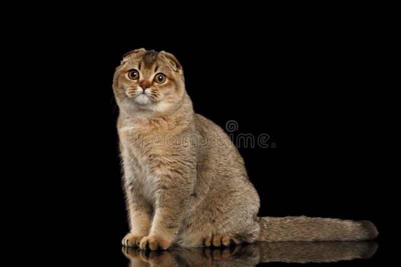Gli Scottish piegano Cat Sitting, guardante in camera sul nero fotografia stock libera da diritti