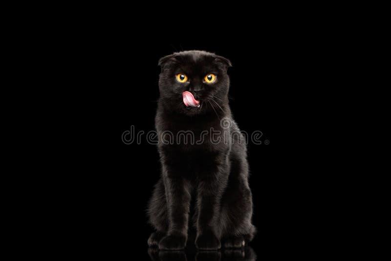 Gli Scottish piegano il gatto con gli occhi gialli che si siedono e leccati, nero isolato fotografia stock