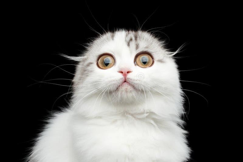 Gli scottish simili a pelliccia piegano il gattino della razza su fondo nero isolato fotografia stock