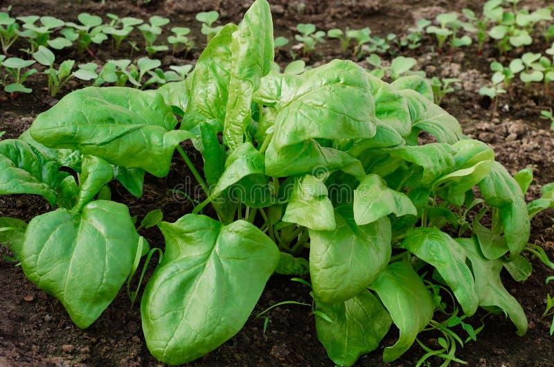 Gli spinaci organici si sviluppano nel giardino Alimento sano vegetarianism fotografie stock libere da diritti