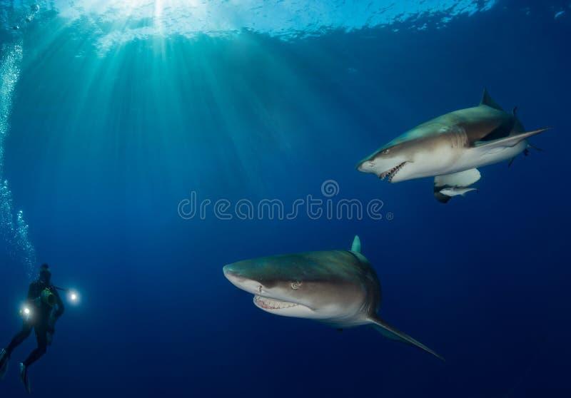 Gli squali oceanici nuotano vicino intorno al cineoperatore subacqueo sul fondo blu dell'oceano fotografia stock