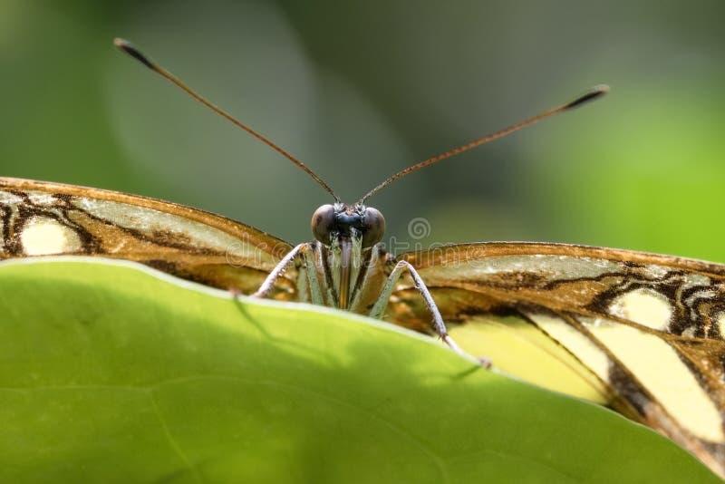 Gli stelenes di Siproeta della farfalla della malachite si siede dietro una foglia e una l fotografia stock