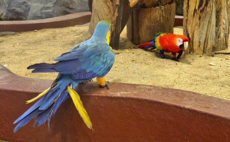 Gli uccelli blu e rossi del pappagallo dell'ara camminano sulla sabbia fotografie stock libere da diritti