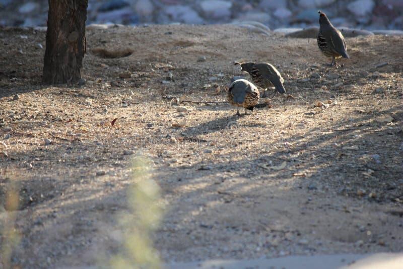 Gli uccelli del deserto tendono ad essere molto più abbondanti dove la vegetazione è più fertile e così offre più insetti, frutta fotografia stock
