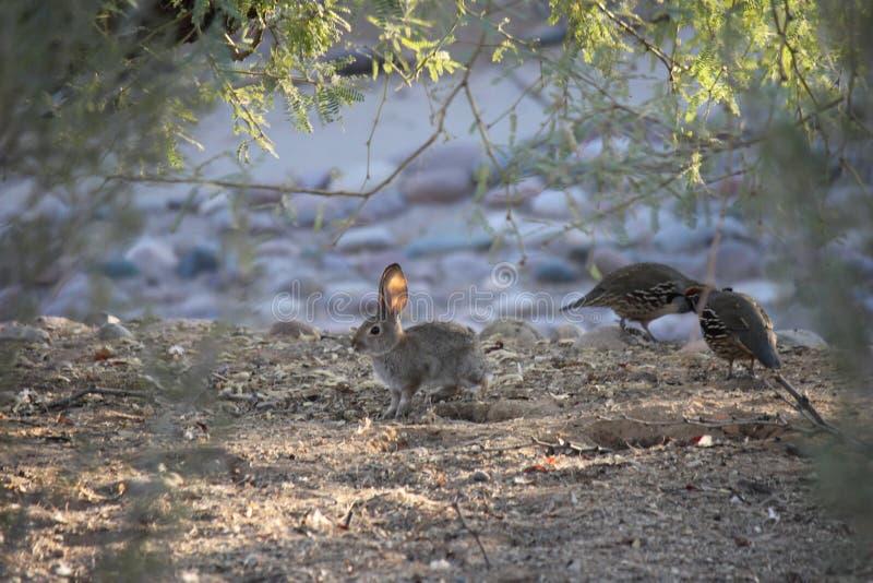 Gli uccelli del deserto tendono ad essere molto più abbondanti dove la vegetazione è più fertile e così offre più insetti, frutta fotografie stock