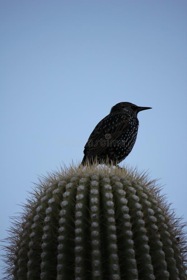 Gli uccelli del deserto tendono ad essere molto più abbondanti dove la vegetazione è più fertile e così offre più insetti, frutta immagini stock