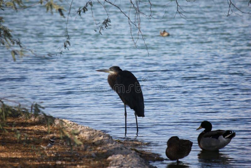 Gli uccelli del deserto tendono ad essere molto più abbondanti dove la vegetazione è più fertile e così offre più insetti, frutta fotografia stock libera da diritti