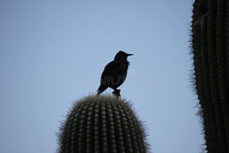 Gli uccelli del deserto tendono ad essere molto più abbondanti dove la vegetazione è più fertile e così offre più insetti, frutta immagine stock