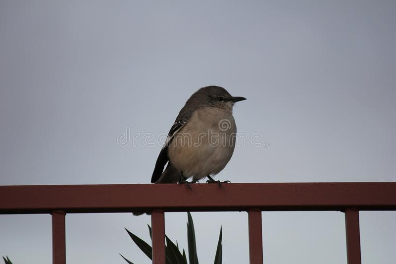 Gli uccelli del deserto tendono ad essere molto più abbondanti dove la vegetazione è più fertile e così offre più insetti, frutta immagini stock libere da diritti