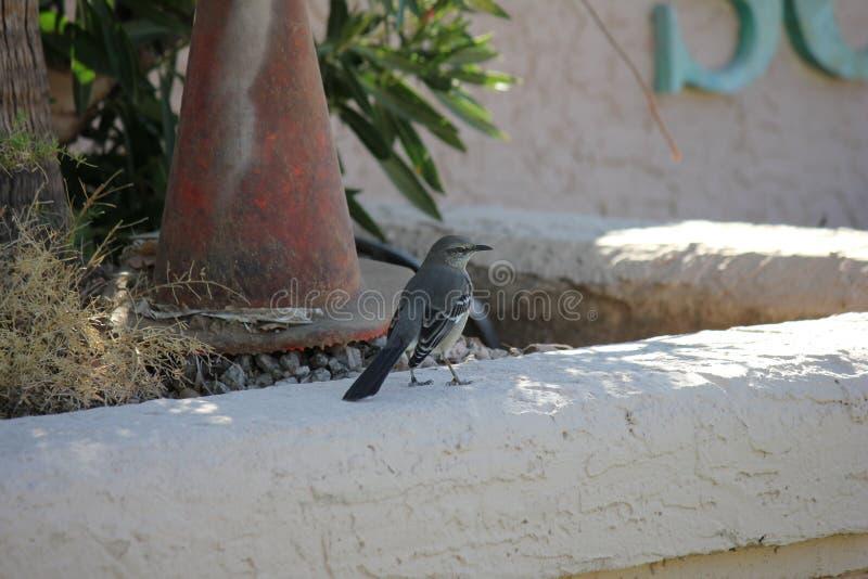 Gli uccelli del deserto tendono ad essere molto più abbondanti dove la vegetazione è più fertile e così offre più insetti, frutta fotografie stock libere da diritti