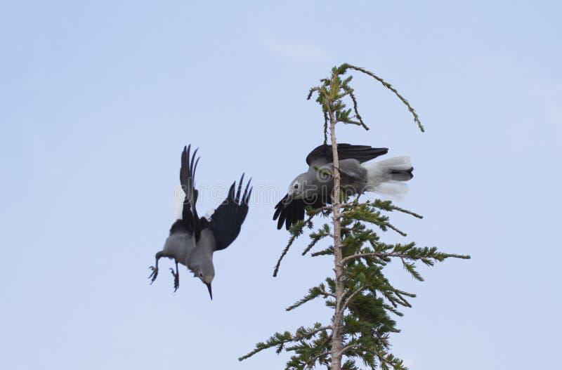 Gli uccelli di combattimento sono schiaccianoci del ` s di Clark nel lago P nazionale crater immagine stock