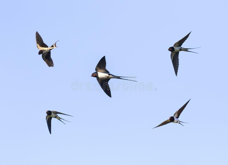 Gli uccelli i sorsi di granaio che pilotano nel cielo blu ampiamente hanno spanto le sue ali fotografie stock libere da diritti