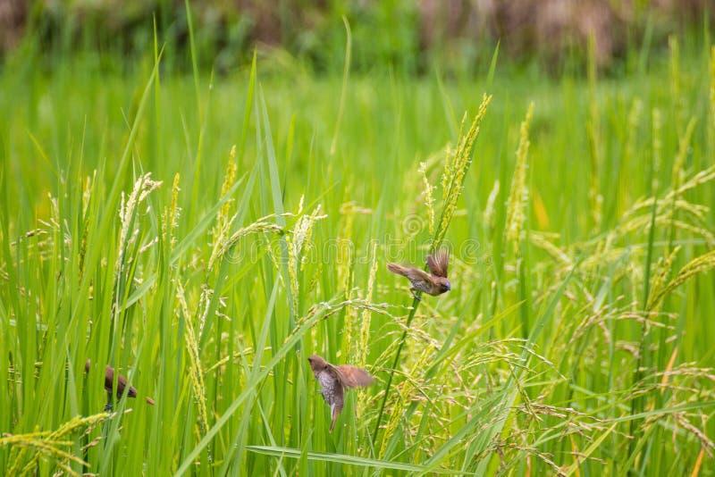 Gli uccelli mangiano nel riso fotografia stock